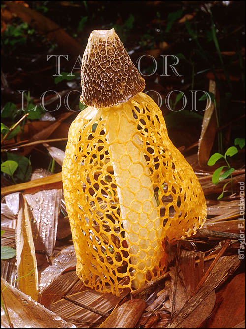 Dictyophora indusiata photograph from Taylor Lockwood